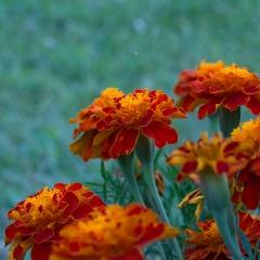 3.Marigolds-I-227