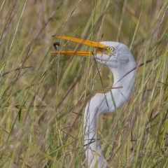 7.Egret-Lunch-185