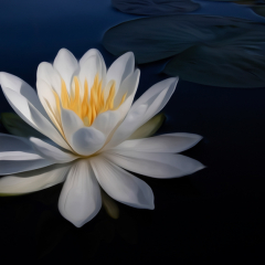 2nd Place Creative - White Water Lily - Don Specht