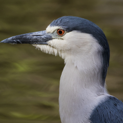 Black Crowned Night Heron ll - Larry Weinman
