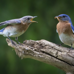 Female Bluebird Begging for Food - Don Specht
