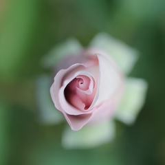 5.2nd Place -The Rose - Rikki Van Dyk