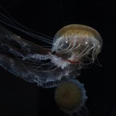 9.1st Place - Jellyfish - Rikki Van Dyk