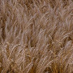 4.Wheat-Field-330