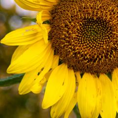 5.-Sunflower2-221