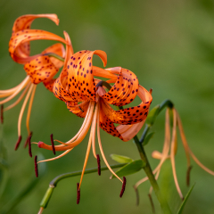5.Tiger-Lily-with-Ant-330