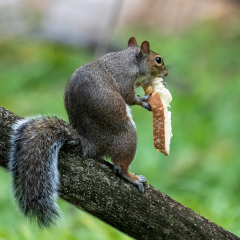 7.Squirrel eating slice of bread - 330