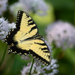 9.Backyard Swallowtail - 330