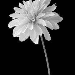 Blank & White Acceptance - Dahlia - Terry Butler