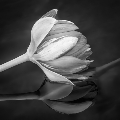 Blank & White Acceptance - Waterlily Bud - Marianne Diericks