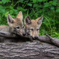 Nature Acceptance - Curious Wolf Puppies - Larry Weinman