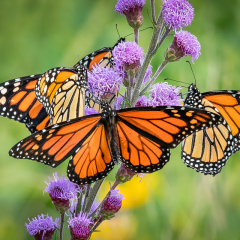 Nature Acceptance - Hungry Monarchs - Marianne Diericks