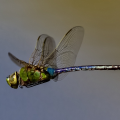 Nature Acceptance - Green Darner Dragonfly - Larry Weinman