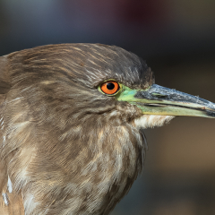 Realistic Acceptance - Juvenile Black Capped Night Heron - Larry Weinman