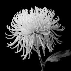 Blank & White Honorable Mention - Spider Mum - Terry Butler