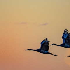 Creative Honorable Mention - Crex Cranes at Sunrise - Hubert Cole