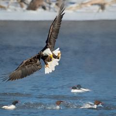Award Realistic - Eagle Fishing - Marianne Diericks