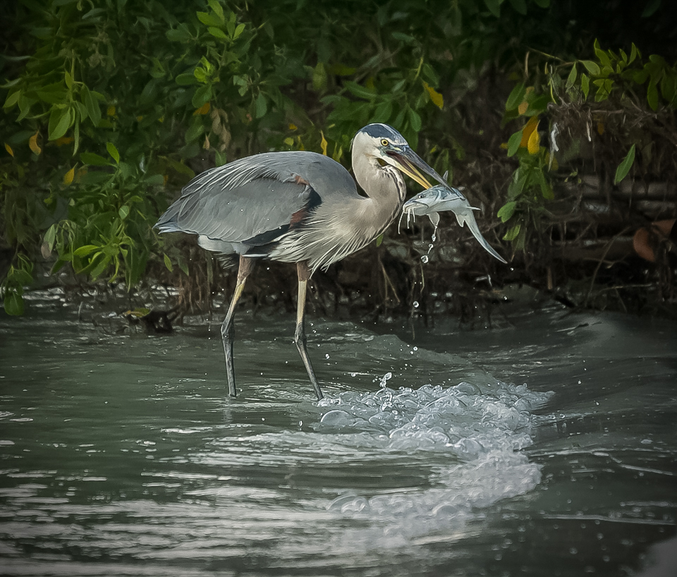 Heron with Catfish - Kathy Lauerer