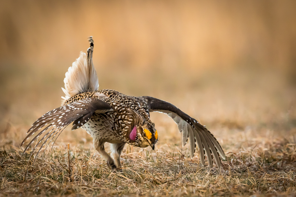 Sharp-Tailed Grouse Display - Betty Bryan