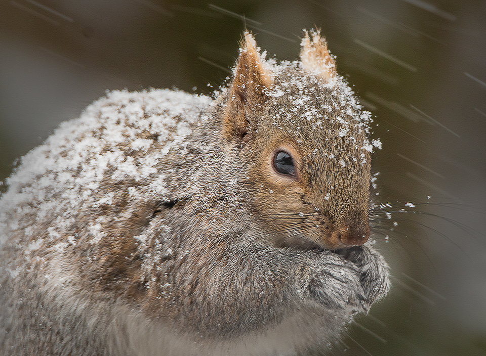 Winter Squirrel - MJ Springett