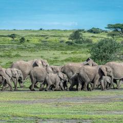 1st Place - Travel - Tanzanian Elephants on the Move - Diane Herman