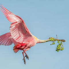Honorable Mention - Nature - Nest building Roseate Spoonbill - Marianne Diericks