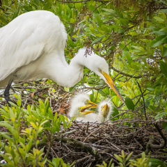 Honorable Mention - Pictorial - Hungry Egret Babies - Marianne Diericks