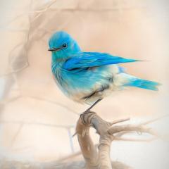 Merit - Altered Reality - Mountain Bluebird - Marianne Diericks
