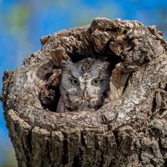 Merit - Nature - Eastern Screech Owl - Diane Herman