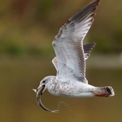 Nature - Gull with Lunch - Don Specht