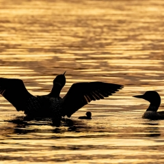 Nature - Loon Family Silhouette - Betty Bryan