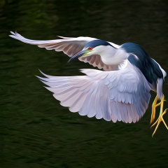 Creative - Black Crowned Night Heron - Don Specht