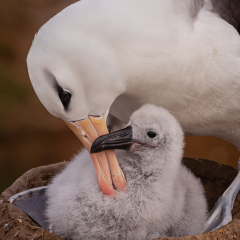 Nature - Albatross with Chick - Mariann Cyr