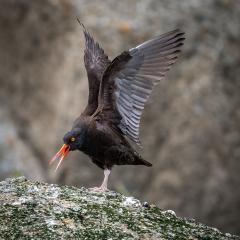 Nature - Black Oystercatcher Wing Stretch - Diane Herman