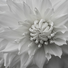 Pictorial - Flower in B&W - Mariann Cyr