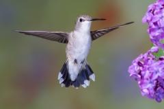 02 Black chinned Hummingbird, female