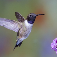 03 Black chinned Hummingbird