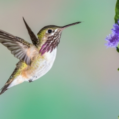 04 Caliope Hummingbird ,male