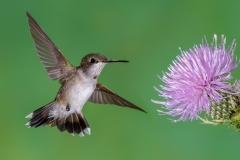 07 Ruby Throated Hummingbird, juvenile male