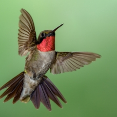 08 Ruby Throated Hummingbird