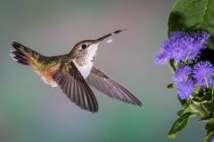 10 Rufous Hummingbird, female