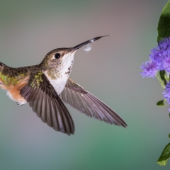 10 Rufous Hummingbird, female