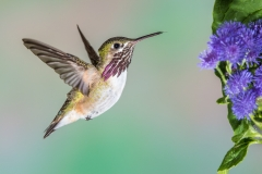 04 Caliope Hummingbird ,male