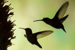 05 Hummingbird Silhouette