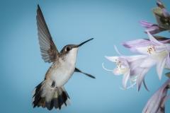 06 Ruby Throated Hummingbird, female