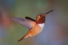 09 Rufous Hummingbird ,male