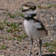 Nature - Baby Killdeer - Carl Wegener