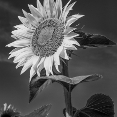 Pictorial - Sunflower B & W - Betty Bryan