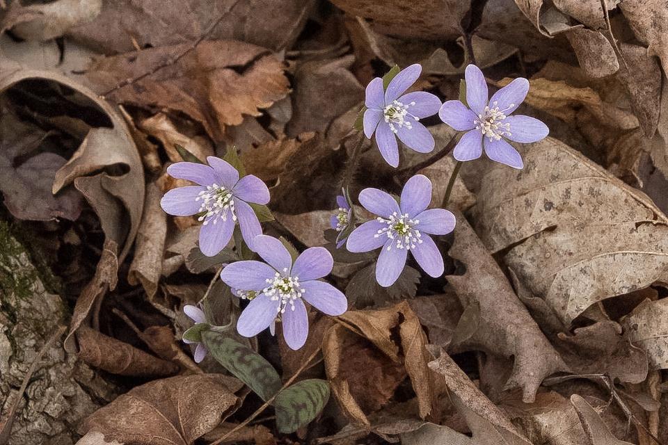Hepatica - Apr 24 - Indianhead Creek Trail - Mike Chrun