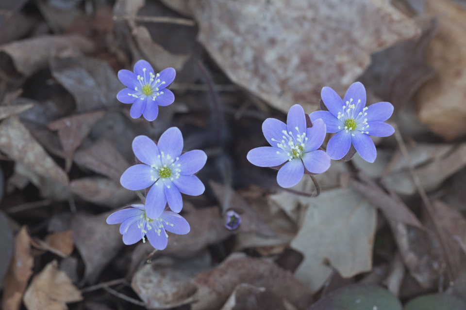 Hepatica - Apr 24 - Ridgeview Trail Osceola Loop - Terry Butler